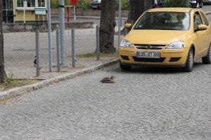 Enten haben Vorfahrt