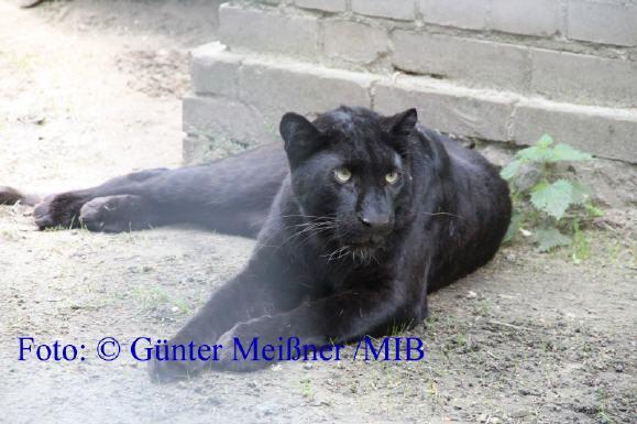 Schwarzer Puma