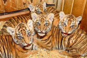 Vier Kleine Tiger Medieninfo Berlin